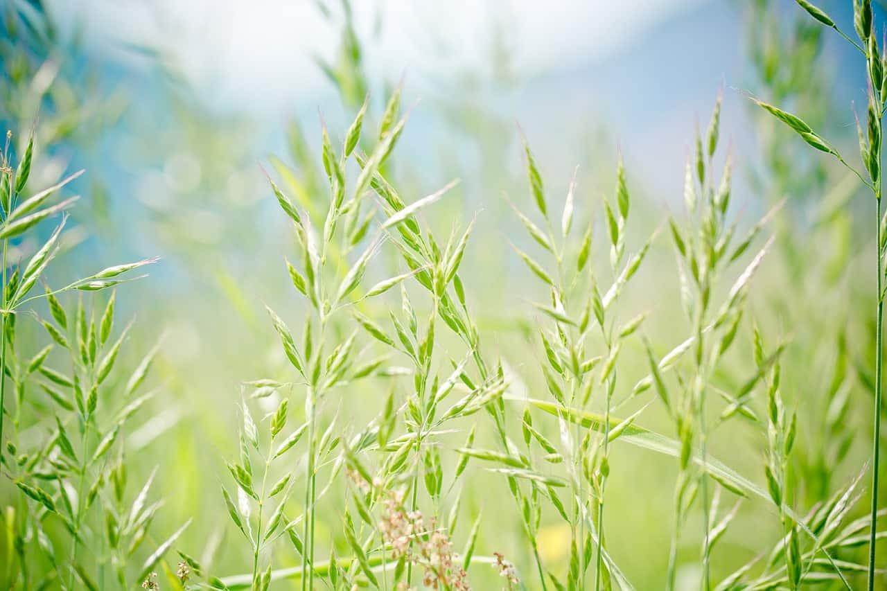 צמח הליקריץ